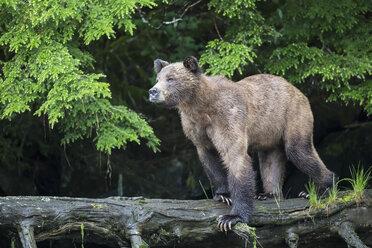 Canada, Khutzeymateen Grizzly Bear Sanctuary, Female grizzly bear - FOF005357