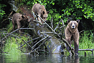 Canada, Khutzeymateen Grizzly Bear Sanctuary, Female grizzly bear with offspring - FOF005358