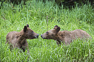 Canada, Khutzeymateen Grizzly Bear Sanctuary, Grizzly bears smelling each other - FO005368