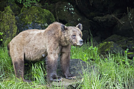 Canada, Khutzeymateen Grizzly Bear Sanctuary, Female grizzly bear watching out - FO005370