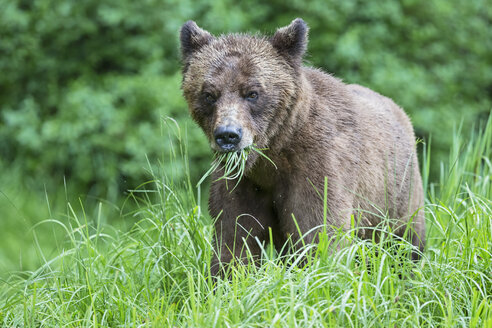 Canada, Khutzeymateen Grizzly Bear Sanctuary, Grizzly bear eating grass - FO005371