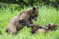 Canada, Khutzeymateen Grizzly Bear Sanctuary, Playing grizzly bears - FO005394