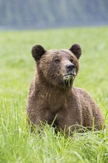 Canada, Khutzeymateen Grizzly Bear Sanctuary, Grizzly bear eating grass - FOF005377