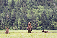 Canada, Khutzeymateen Grizzly Bear Sanctuary, Grizzly bears eating grass - FOF005378
