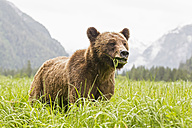 Canada, Khutzeymateen Grizzly Bear Sanctuary, Grizzly bear eating grass - FOF005379