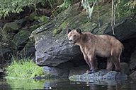 Canada, Khutzeymateen Grizzly Bear Sanctuary, Female grizzly at lakeshore - FOF005397