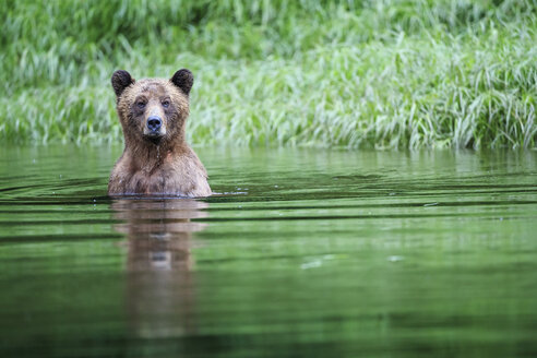 Canada, Khutzeymateen Grizzly Bear Sanctuary, Female grizzly in lake - FOF005386