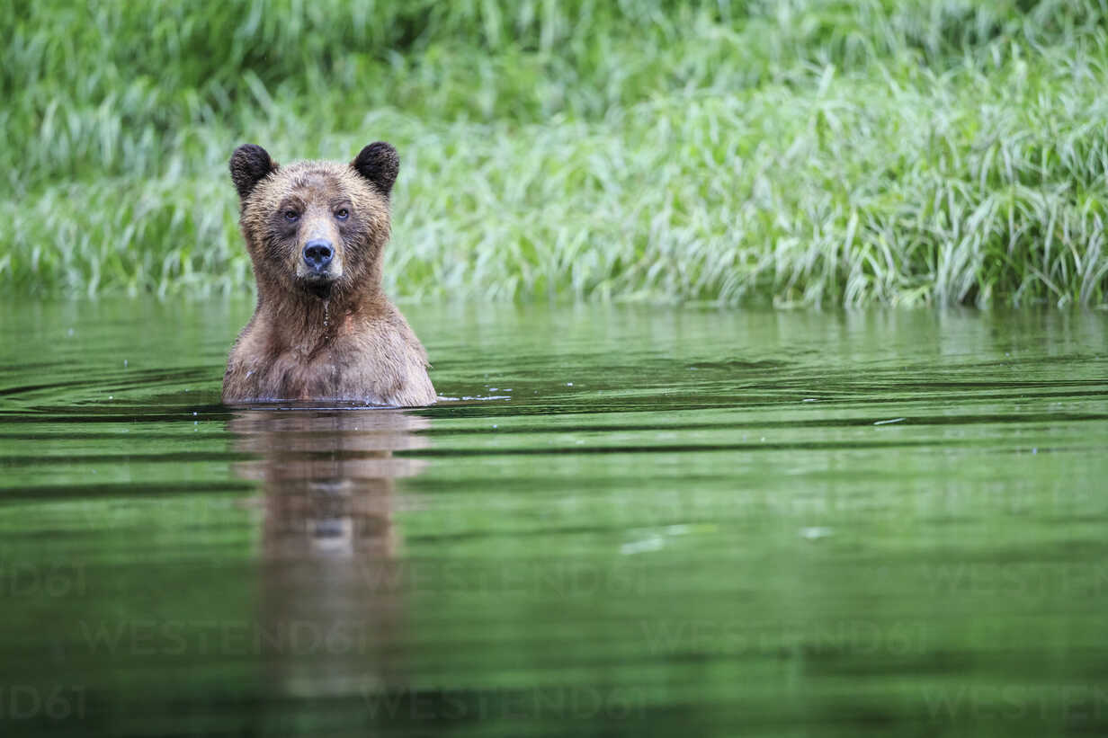 Canada, Khutzeymateen Grizzly Bear Sanctuary, Female grizzly in lake - FOF005386 - Fotofeeling/Westend61