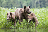Canada, Khutzeymateen Grizzly Bear Sanctuary, Female grizzly with kids at lake - FOF005398