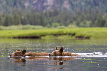 Canada, Khutzeymateen Grizzly Bear Sanctuary, Young grizzlies swimming in lake - FOF005391