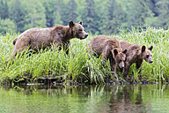 Canada, Khutzeymateen Grizzly Bear Sanctuary, Female grizzly with kids at lake - FOF005393