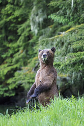 Canada, Khutzeymateen Grizzly Bear Sanctuary, Female grizzly standing upright - FOF005399