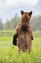 Canada, Khutzeymateen Grizzly Bear Sanctuary, Female grizzly standing upright - FOF005404