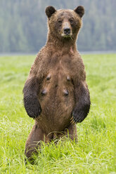 Canada, Khutzeymateen Grizzly Bear Sanctuary, Female grizzly standing upright - FO005409