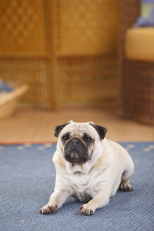 Pug lying on a carpet - HTF000325