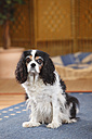 Cavalier King Charles Spaniel sitting on a carpet - HTF000301