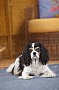 Cavalier King Charles Spaniel lying on a carpet - HTF000303