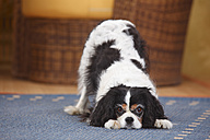 Cavalier King Charles Spaniel playing on a carpet - HTF000302