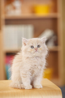 British Longhair, kitten, sitting at stool - HTF000306