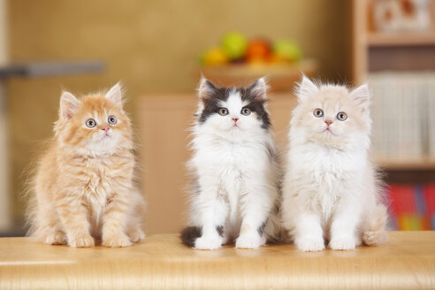 British Longhair, three kittens sitting side by side - HTF000309