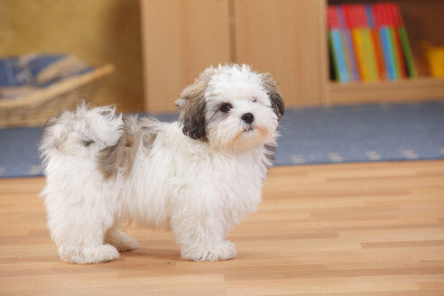 Mixed-breed dog, puppy, standing on wooden floor - HTF000312