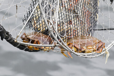 Canada, British Columbia, Khutzeymateen Provincial Park, crabs in a fish trap - FO005415