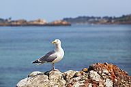 France, Bretagne, Ploubazlanec, European Herring Gull (Larus argentatus) on rock - BIF000230