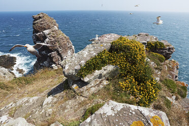 France, Bretagne, Cap Frehel, European Herring Gulls (Larus argentatus) at La Fauconniere - BIF000244