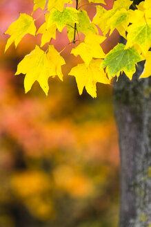 Bicoloured foliage in autumn - KRPF000038