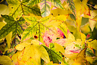 Multicoloured leaves in autumn - KRPF000040