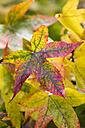 Multicoloured autumn foliage - KRPF000041