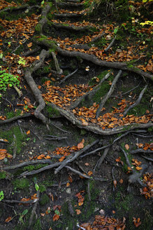 Tree roots and autumn leaves - AXF000610