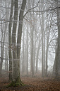 Switzerland, Thurgau, Beech forest in fog - ELF000747