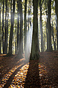 Germany, Mecklenburg-Western Pomerania, Ruegen, Jasmund National Park, beech forest against the sun - WI000252
