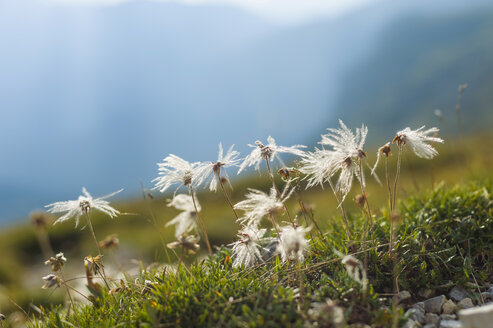 Italy, Province of Belluno, Veneto, Auronzo di Cadore, cotton grass (Eriophorum), close-up - MJF000473