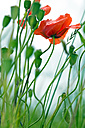 Corn poppy flower, Papaver rhoeas - LB000459
