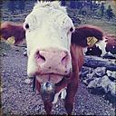 Austria, Alm, Carinthia, cow - BM000786