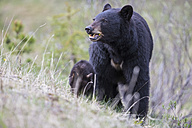 Canada, Rocky Mountains, Alberta. Jasper National Park, American black bear (Ursus americanus) with bear cub on meadow - FOF005505