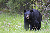 Canada, Rocky Mountains, Alberta. Jasper National Park, Banff National Park, American black bear (Ursus americanus) on a meadow - FOF005499