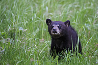 Canada, Rocky Mountains, Alberta. Jasper National Park, American black bear (Ursus americanus), bear cub on meadow - FO005510