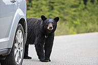 Canada, Rocky Mountains, Alberta. Jasper National Park, American black bear (Ursus americanus) at a car crossing a road - FOF005495