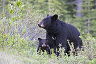 Canada, Rocky Mountains, Alberta. Jasper National Park, American black bear (Ursus americanus) with bear cub on a meadow - FO005492