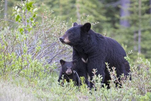 Canada, Rocky Mountains, Alberta. Jasper National Park, American black bear (Ursus americanus) with bear cub on a meadow - FO005492