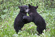 Canada, Rocky Mountains, Alberta. Jasper National Park, American black bear (Ursus americanus), bear cubs playing - FOF005489