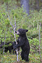 Canada, Rocky Mountains, Alberta. Jasper National Park, American black bear (Ursus americanus), bear cub eating a brench - FO005485