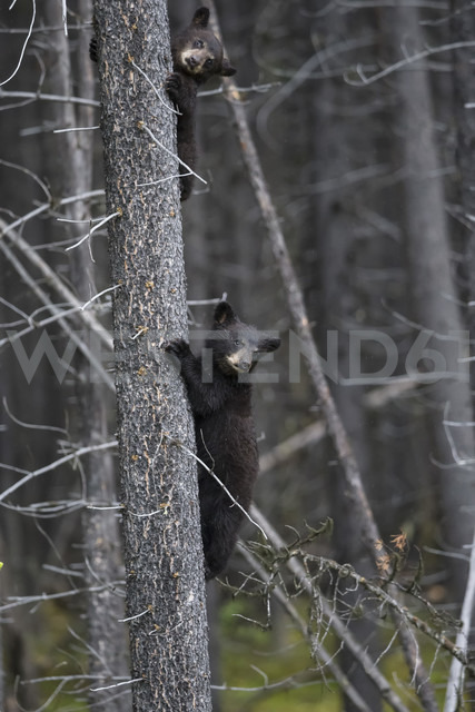 Canada, Rocky Mountains, Alberta. Jasper National Park, American black bear (Ursus americanus) two bear cubs climbing on tree - FOF005483