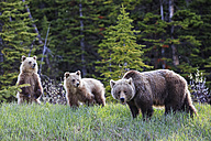 Canada, Alberta, Jasper and Banff National Park, Grizzly bears, mother with young animals - FOF005560