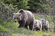 Canada, Alberta, Jasper and Banff National Park, Grizzly bears, mother with young animals - FO005579
