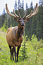 Canada, Alberta, Rocky Mountains, Jasper National Park, Banff Nationalpark, wapiti (Cervus canadensis) screaming - FOF005527