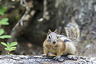 Canada, Alberta, Rocky Mountains, Jasper National Park, Banff Nationalpark, Canada, Alberta, Rocky Mountains, Jasper National Park, Banff Nationalpark, golden-mantled ground squirrel (Callospermophilus lateralis) on a tree trunk - FOF005513